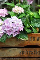 hydrangea, pink, garden details