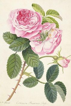 Pink Rose botanical drawing.