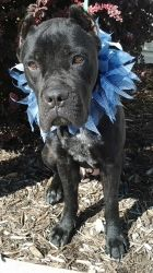 ONE GORGEOUS BOY!!! is an on hold Cane Corso Mastiff Dog in Toledo, OH. WHAT A GREAT PICTURE!! It is not an easy task to get a great photo of a black dog!!! He may look fierce in this picture, but h...