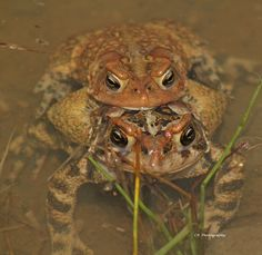 Toads playing Leap Frog!!!!!