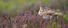 Skylark sitting in heather