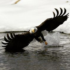 "geographicwild: "" . Photography by @ (AJ Harrison). Bald Eagle Fishing. #eagle .#bird #bald #wildlife """