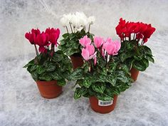 Luxury Christmas Cyclamen Gift - Potted plant with Christmas Pot Cover -Delivery in first week of December or Before - A stunning gift that will last for more than just Christmas - Ideal alternative to Christmas Cards - Create the perfect gift combination - Variety of Christmas Pot Cover options - Gift wrap available - Cyclamen Metiz (Merry Christmas) Best4garden http://www.amazon.co.uk/dp/B017XVPVXY/ref=cm_sw_r_pi_dp_5l6swb1XSAM62