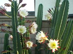 Like most cacti, Cereus are fairly low-maintenance and hardy. Make sure they receive enough water without becoming waterlogged...