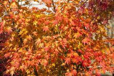 die Herbstfärbung garantiert einen spektakulären Auftritt