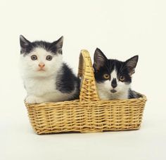 Two Black and White Kittens Sitting in a Basket : Custom Wall Decals, Wall Decal Art, and Wall Decal Murals | WallMonkeys.com