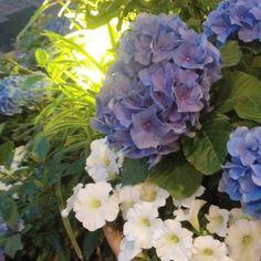 ホテルのエントランスには紫陽花 こんか季節の気遣いが素敵です