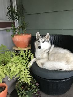 Misty the husky