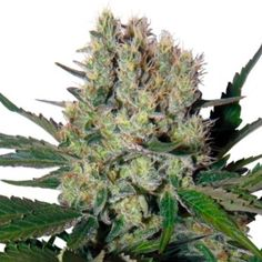Syrup Auto was bred by crossing existing auto-flowering marijuana strains with exceedingly sweet indica strains. This is one incredibly potent automatic pl Buddha, Grow Shop, Buy Cannabis Seeds, Indica Strains, Balcony Plants, Best Track, Real Beauty, Planting Flowers, Syrup