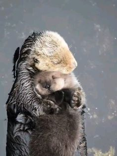 Nothing can hurt you baby ❤️ — 📍 — 📸 Video taken by © Connie Levenhagen Niemi via Cute Little Animals, Cute Funny Animals, Cute Cats, Cute Animal Photos, Cute Animal Videos, Otters Cute, Gato Gif, Tier Fotos, Cute Creatures
