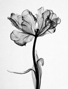 floral radiograph