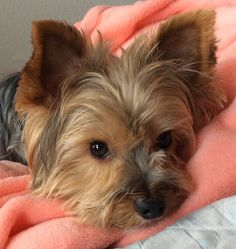 Yorkie Dogs, Yorkies, Cute Puppies, Dogs And Puppies, Silky Terrier, Pomsky, Rainbow Bridge, Mans Best Friend, Puppy Love