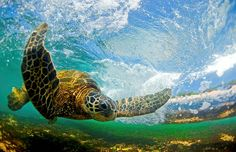 Photo: Clark Little Clark Little, the surfer-turned-photographer behind The Most Beautiful Waves.Ever is back -- this time he captures the secret lives of Hawaiian green sea turtles in stunning, underwater photos that earned him an Windland Smith Rice Underwater Photos, Underwater Photography, Underwater Sea, Endangered Species, Clark Little Photography, Sea Turtle Pictures, Hawaiian Sea Turtle, Waves Photography, Crocodiles