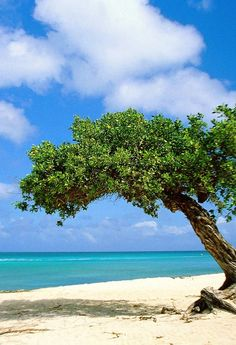 Divi Divi Tree, Aruba - I have never seen such gorgeous amazing beaches and crystal clear water like in Aruba!! I would LOVE to go back one day!!