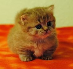This Munchkin kitten is totally adorable don't you think?