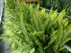Kimberly Queen     Nephrolepis obliterata     Kimberly Queen Ferns are one of the easier ferns to grow. They are quite popular for use on patios or covered decks during the spring and summer. They have large fronds going up from the soil and beautiful upright bushy and sword-shaped leaves. For best results with this type fern, place it in bright filtered light both indoors or outdoors.