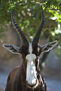 Bontebok Beauty (Damaliscus pygargus) by Macropus-Rufus.deviantart.com on @deviantART