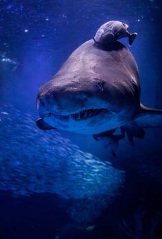 224 Best Sharks  images in 2017 | Sharks, Great white shark