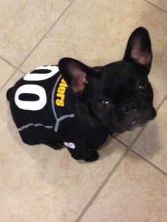 French Bulldog Hootie Cutest Steeler ever #hootie #frenchbulldog