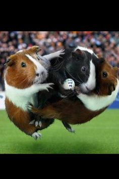Guinea pigs playing football:)