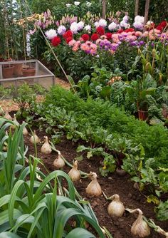 Look at the size of those onions! And the dahlias in the background really brighten things up.