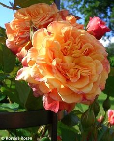 """Rose 'Aloha' Rosa - A great climbing rose with large apricot-orange to salmon-pink blooms. Capable of reaching 8"""" at maturity. Zones 5-7"""