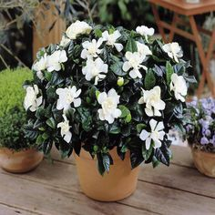 5 flowering house plant species for a beautiful home in winter Rose Like Flowers, Large Flowers, Fresh Flowers, White Flowers, Flowering House Plants, Garden Plants, Indoor Garden, Indoor Plants, Flower Delivery Uk