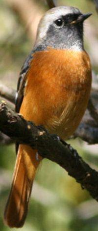 Daurian  Redstart.