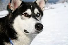 The sledge dog could be a stunning dog breed with a thick coat that comes in an exceedingly multitude of colours and markings.