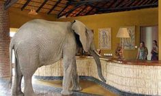 My world would include an African safari. it is my dream one day to go where elephants can check in at the local hotel! Elephant Room, Elephant Walk, Wild Elephant, Herd Of Elephants, Elephants Photos, Giraffes, African Elephant, African Safari, Out Of Africa