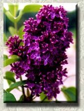 Purple lilacs for sale at the Hulda Klager Lilac Gardens