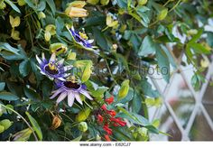 Passiflora 'Silly Cow' . Passionflower - Stock Image