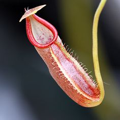 Plante carnivore image Nepenthes bongso