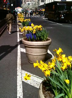 Lining the no parking zone on Broadway just below Herald Square. Daffodils and Hyacinths. Photo shot by Christine Best Herald Square, Daffodils, Broadway, Shots, Photoshoot, York, City, Plants, Photo Shoot
