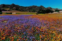 namaqualand flowers 2020 - Google Search Happy Spring Day, Places Worth Visiting, Holiday Destinations, Cover Photos, Wild Flowers, Spring Flowers, Beautiful World, West Coast, South Africa