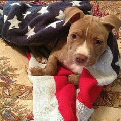 Pit bull puppy ♥ Innocent before PROVEN GUILTY!!