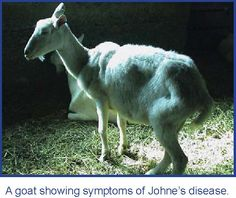 South Australian branch of the Dairy Goat Society of Australia's Market Assurance scheme for Johne's disease and Johne's disease