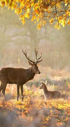 Country Fall, Autumn - Red deer stag with young red deer hind