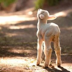She is not a leg of lamb. She is a little lamb who wants to live her precious life. Every single life matters to the one whose life it is. Farm Animals, Animals And Pets, Cute Animals, Beautiful Creatures, Animals Beautiful, Sheep And Lamb, Baby Sheep, Tier Fotos, All Gods Creatures