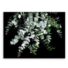 Eucalyptus Druck