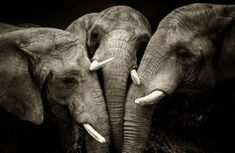 Animal photography has been the most challenging form of photography so far. People always enjoy to watch amazing animal photography which is the out come of great pain and dangerous efforts made b… Elephant Photography, Wildlife Photography, Animal Photography, White Photography, Amazing Photography, Elephants Never Forget, Save The Elephants, Beautiful Creatures, Animals Beautiful