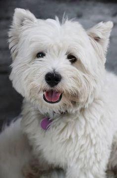So Adorable...Westie