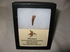Pterosaur Tooth #9