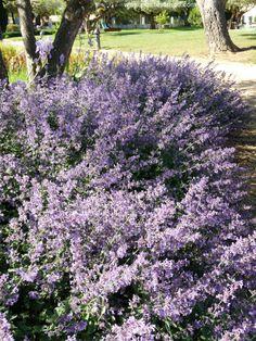 Népéta, plante vivace à l'abondante floraison au printemps, très résistante au sec, donc parfait pour les jardins du sud de la France. www.plantesdusud.com