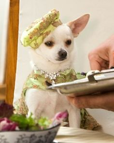 Chloe from Beverly Hills Chihuahua trilogy getting ready for her next movie roll.