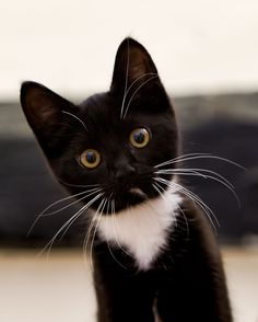 cute black and white kitten //