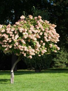 """Hydrangea paniculata """"Grandiflora""""   Syrinhortensia er også en vakker plante og den mest hardføre av hortensiaene vi har i Norge. Den trive..."""
