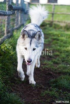 100 Best Yukon Wolves Images Cute Dogs Malamute Husky Pets