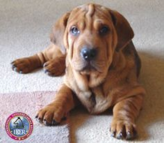 Ba-Shar  nasset hound and shar-pei mix!!! so cute