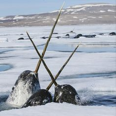 Photograph by @paulnicklen // Narwhals jockey for position and gently cross tusks as they push for a breath of air . They are diving under the sea ice in an attempt to access the thick schools of polar cod.  https://instagram.com/natgeo/